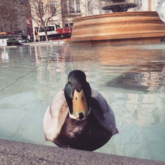 Ducks in Trafalgar Square.