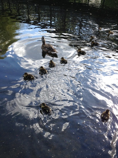 Ducklings. Duck. Regents Park.