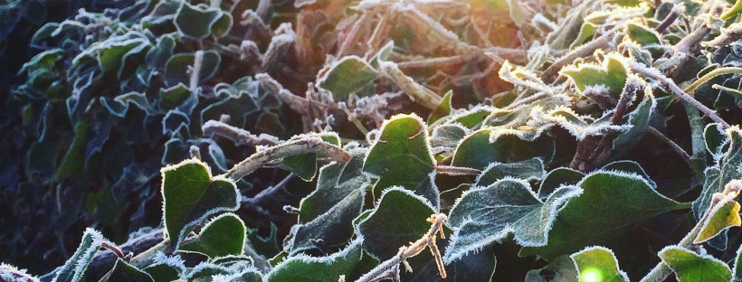 Frosty Hedgerow