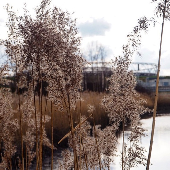 Reeds and the Olympic Stadium