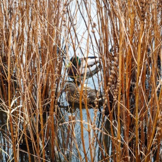 Ducks in the reeds