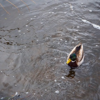 Mallard Duck in the water