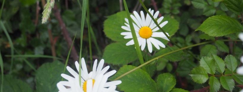 Giant Daisys